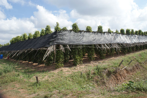 Kampot Peppel Farm